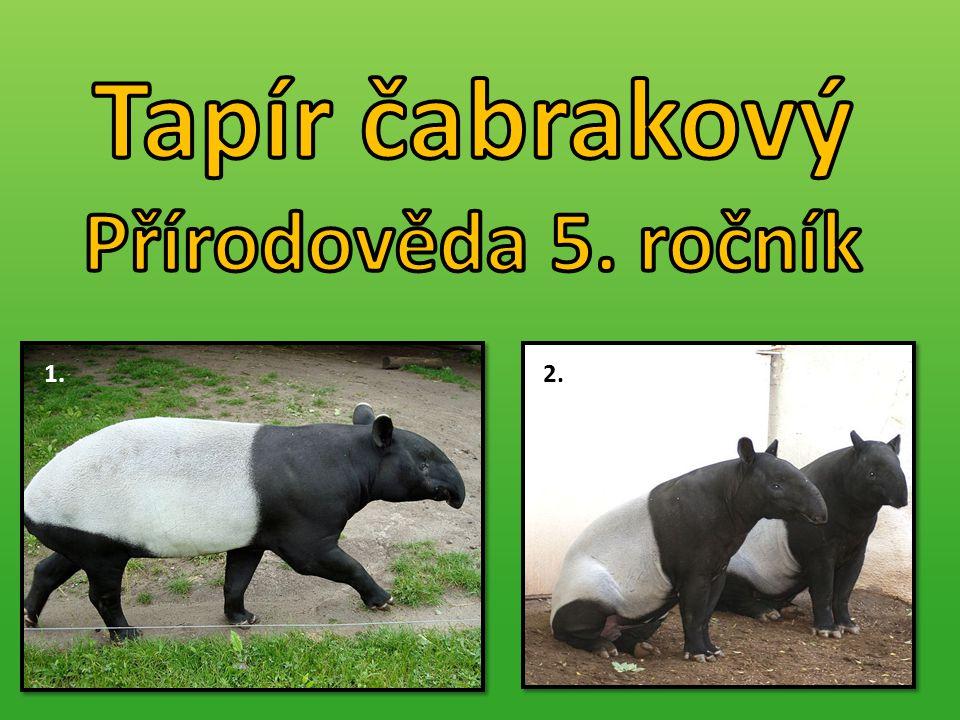  Někdy též tapír indický. Savec, patří do řádu lichokopytníků.
