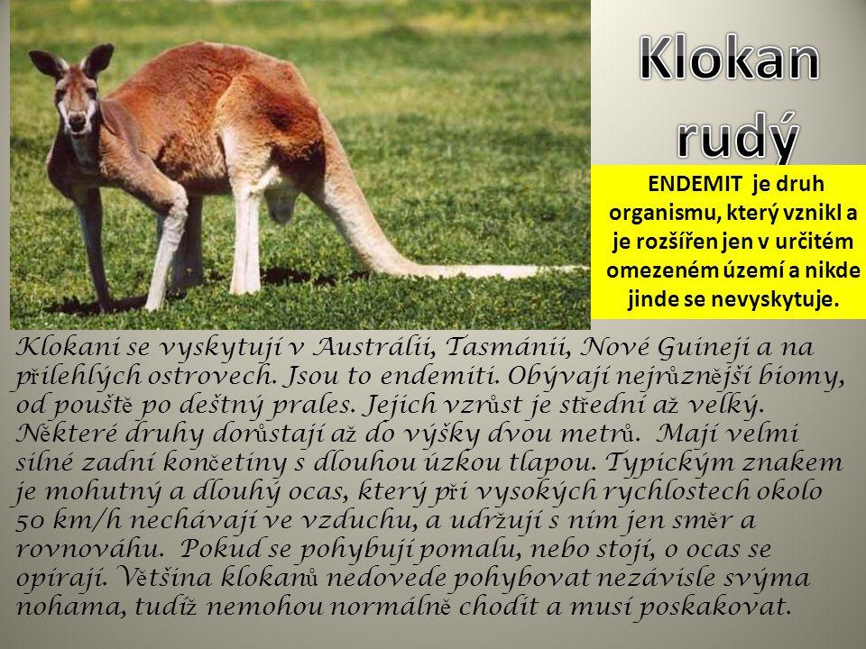 Klokani se vyskytují v Austrálii, Tasmánii, Nové Guineji a na p ř ilehlých ostrovech. Jsou to endemiti. Obývají nejr ů zn ě jší biomy, od poušt ě po d