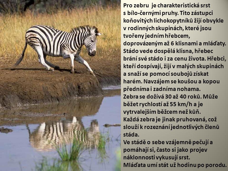 Pro zebru je charakteristická srst s bílo-černými pruhy. Tito zástupci koňovitých lichokopytníků žijí obvykle v rodinných skupinách, které jsou tvořen