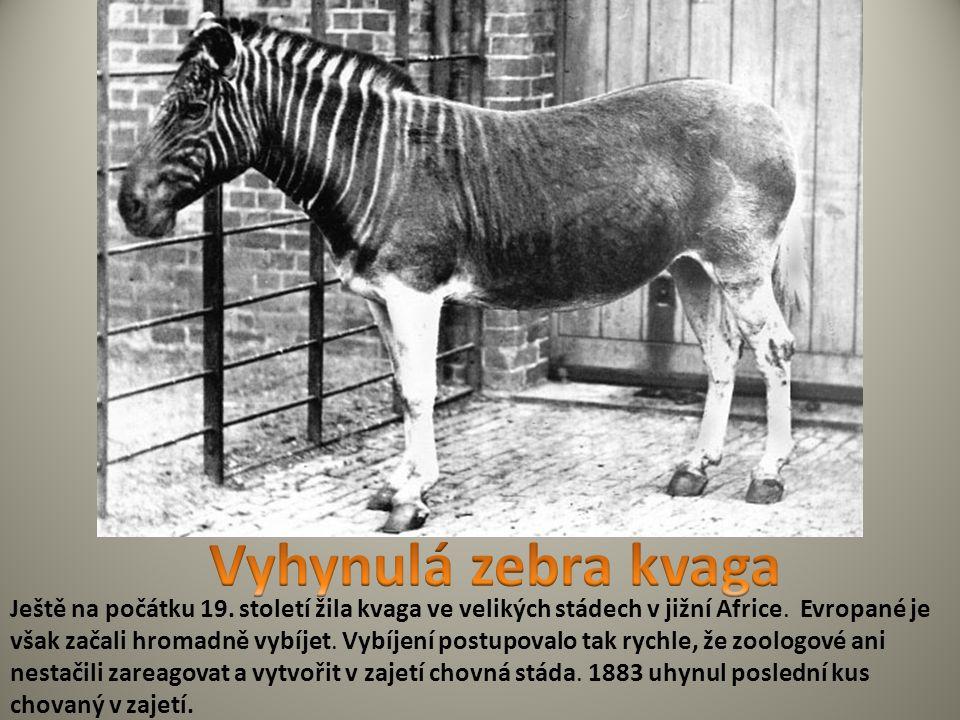 Ještě na počátku 19. století žila kvaga ve velikých stádech v jižní Africe. Evropané je však začali hromadně vybíjet. Vybíjení postupovalo tak rychle,