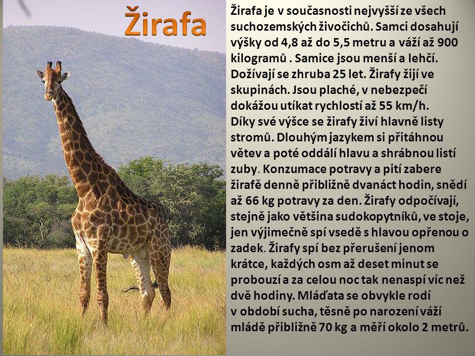 Žirafa je v současnosti nejvyšší ze všech suchozemských živočichů. Samci dosahují výšky od 4,8 až do 5,5 metru a váží až 900 kilogramů. Samice jsou me
