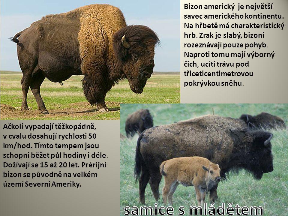Bizon americký je největší savec amerického kontinentu. Na hřbetě má charakteristický hrb. Zrak je slabý, bizoni rozeznávají pouze pohyb. Naproti tomu