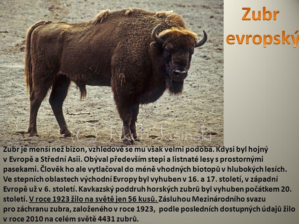 Zubr je menší než bizon, vzhledově se mu však velmi podobá. Kdysi byl hojný v Evropě a Střední Asii. Obýval především stepi a listnaté lesy s prostorn