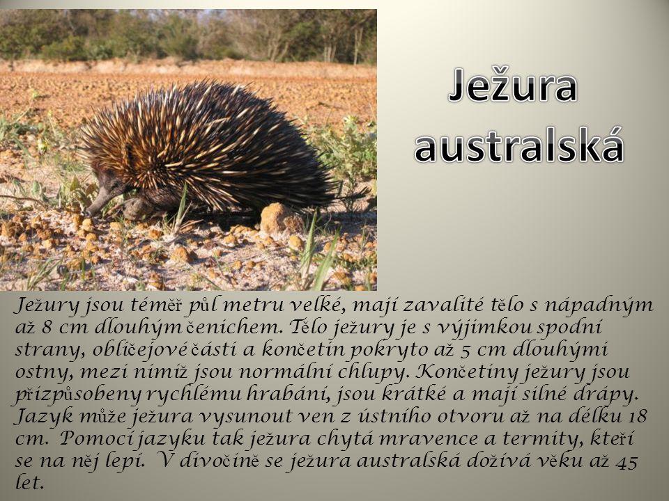 Savany a stepi SAVCI ježura (vejcorodí) – v Austrálii; ostny; ♀ klade vejce, mládě – ve vaku ♀ ; dlouhým jazykem loví mravence a termity klokan (vačnatci) – v Austrálii, mládě – ve vaku ♀ ; silné zadní nohy a ocas  dlouhé skoky Kopytníci savan a stepí LICHOKOPYTNÍCI - býložravci zebra – v Africe; jeden prst s kopytem; ve velkých stádech SUDOKOPYTNÍCI přežvýkaví - býložravci žirafa – v Africe; nejvyšší savec (až 5m), dlouhý krk a nohy; osrstěné růžky antilopa - v Africe a v Asii; četné druhy, např.