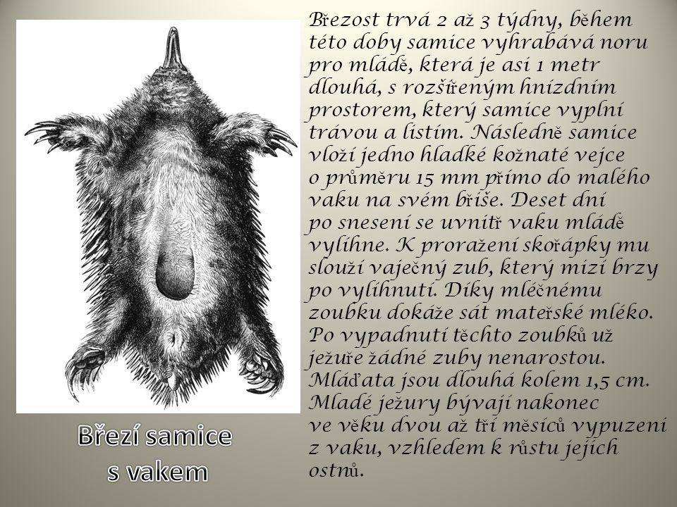 Ještě na počátku 19.století žila kvaga ve velikých stádech v jižní Africe.