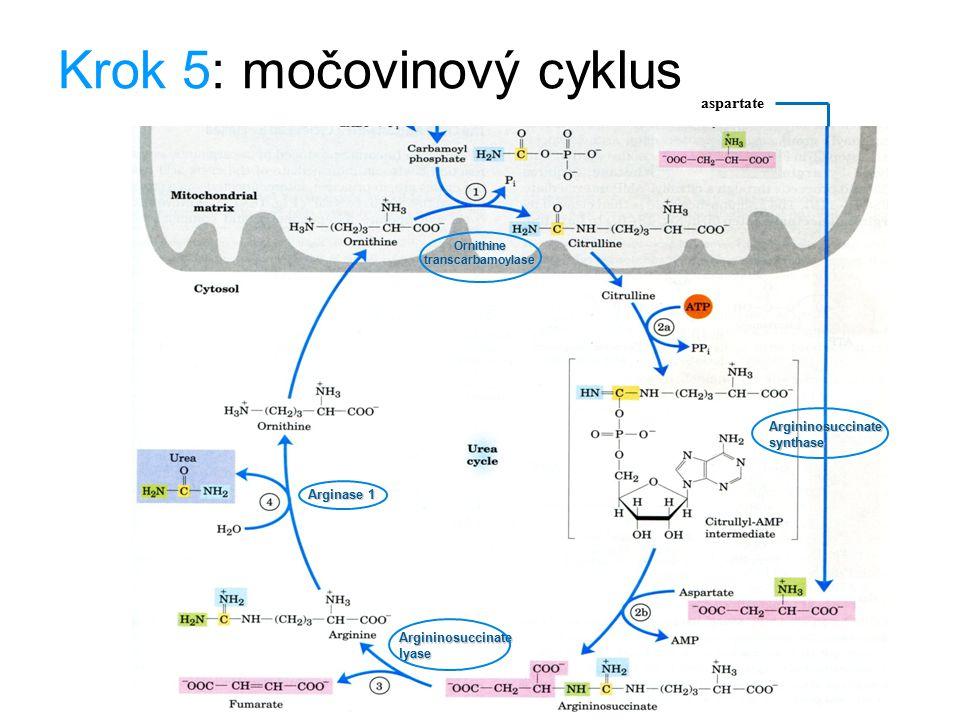 Krok 5: močovinový cyklus aspartate Ornithine transcarbamoylase Argininosuccinate synthase Argininosuccinate lyase Arginase 1