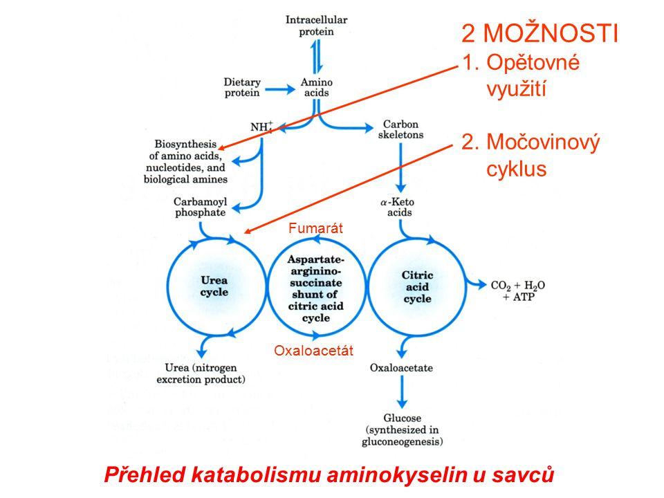 Přehled katabolismu aminokyselin u savců 2 MOŽNOSTI 1.Opětovné využití 2.Močovinový cyklus Fumarát Oxaloacetát