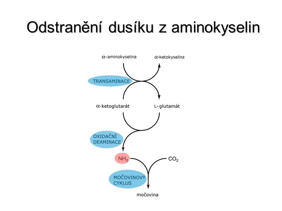 Odstranění dusíku z aminokyselin Odstranění dusíku z aminokyselin