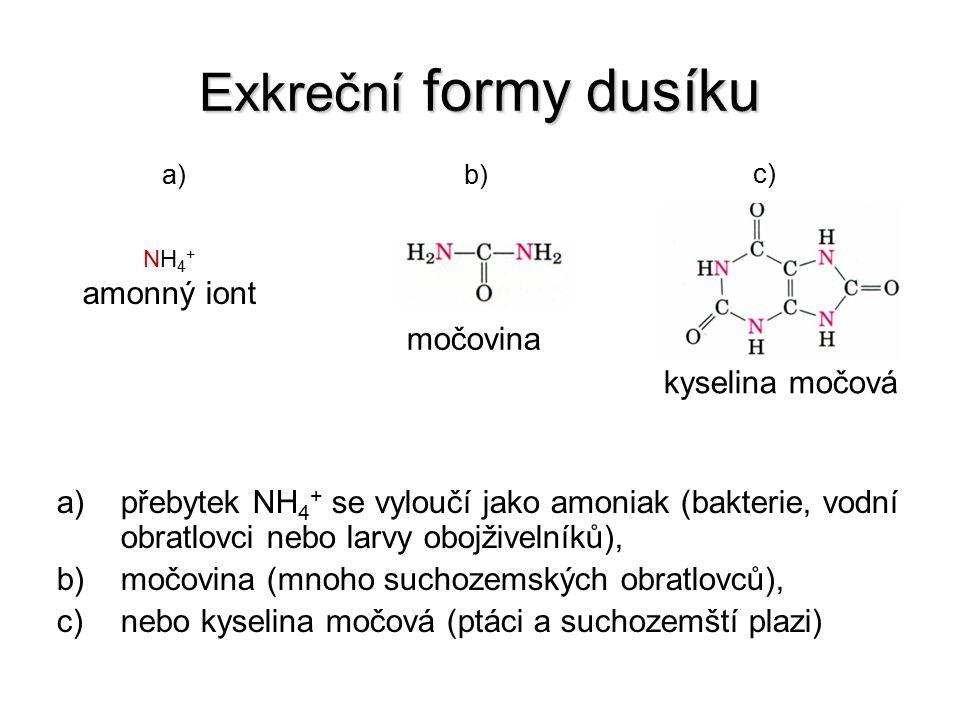 Exkreční formy dusíku a)přebytek NH 4 + se vyloučí jako amoniak (bakterie, vodní obratlovci nebo larvy obojživelníků), b)močovina (mnoho suchozemských