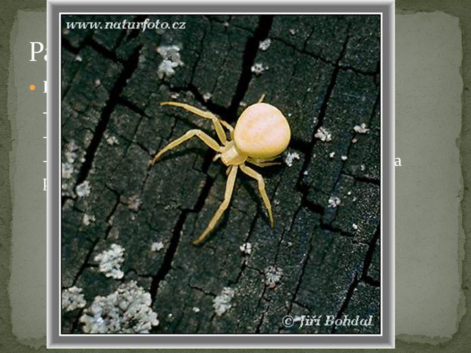 """Běžník kopretinový - nestaví sítě - žije na květech, kde číhá na přilétající hmyz - nedospělí běžníci vytváří """"babí léto – drží se na pavučinových vláknech a vítr je roznáší"""