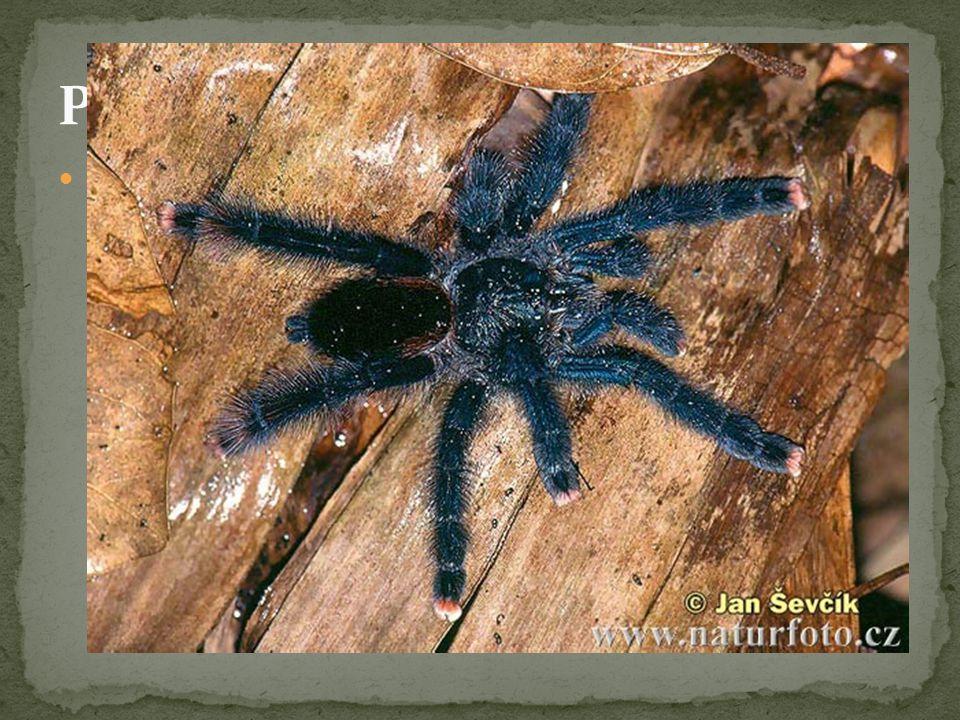 Sklípkani - největší pavouci žijící na Zemi (až 9 cm) - žijí v tropech - loví i větší kořisti – např.