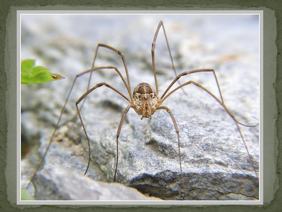 Podobají se pavoukům, ale chybí jim tenká stopka mezi hlavohrudí a zadečkem Mají tenké dlouhé končetiny, které se snadno odlamují.