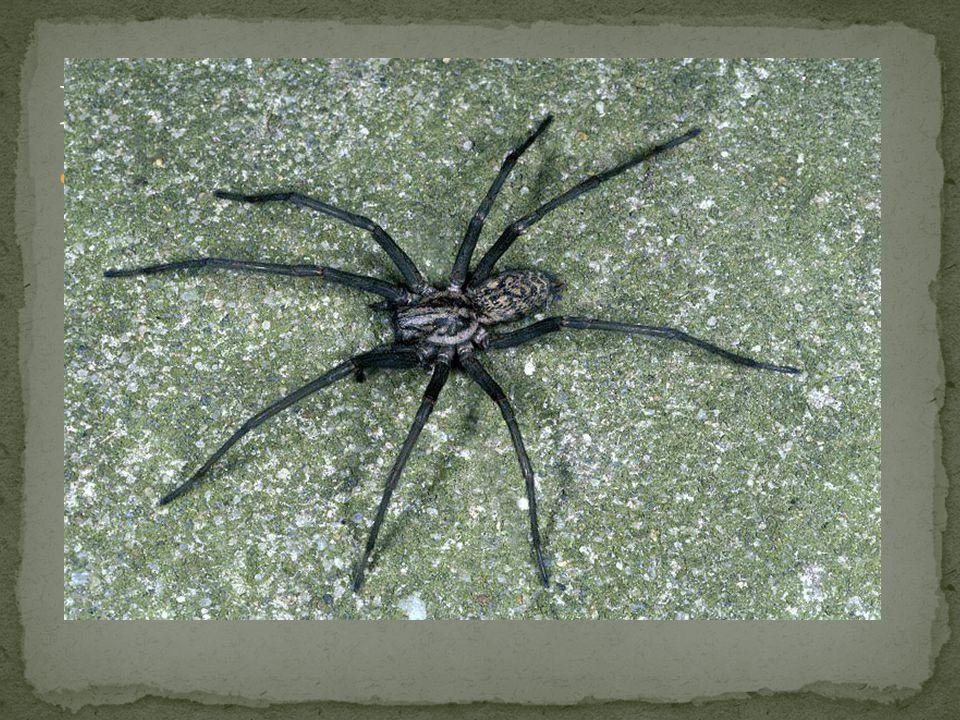Pokoutník domácí - v lidských obydlích si v rozích místností vytváří vodorovné pavučiny