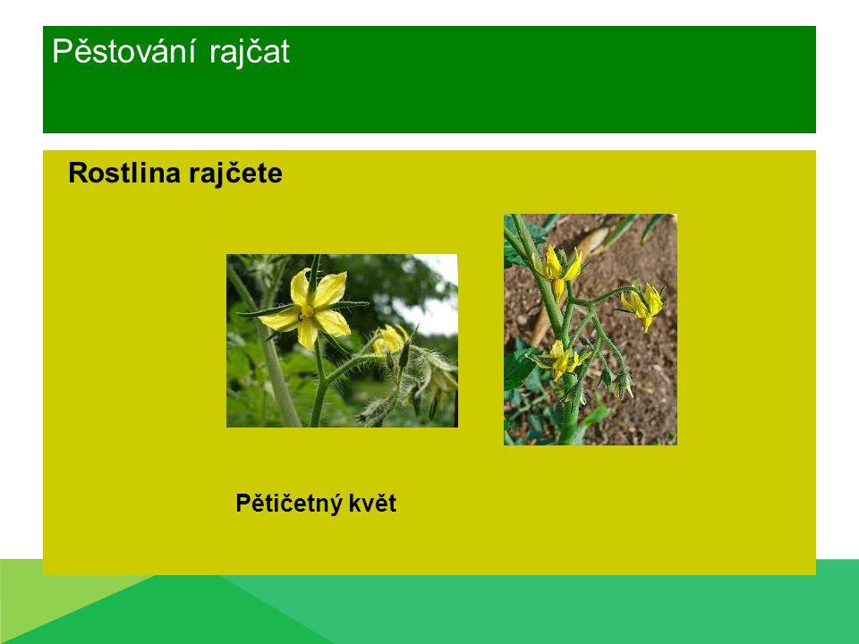 Pěstování rajčat Rostlina rajčete Pětičetný květ