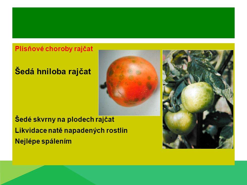 Plísňové choroby rajčat Šedá hniloba rajčat Šedé skvrny na plodech rajčat Likvidace natě napadených rostlin Nejlépe spálením
