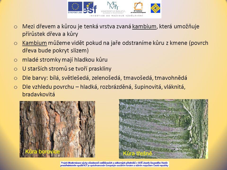 o Mezi dřevem a kůrou je tenká vrstva zvaná kambium, která umožňuje přírůstek dřeva a kůry o Kambium můžeme vidět pokud na jaře odstraníme kůru z kmen