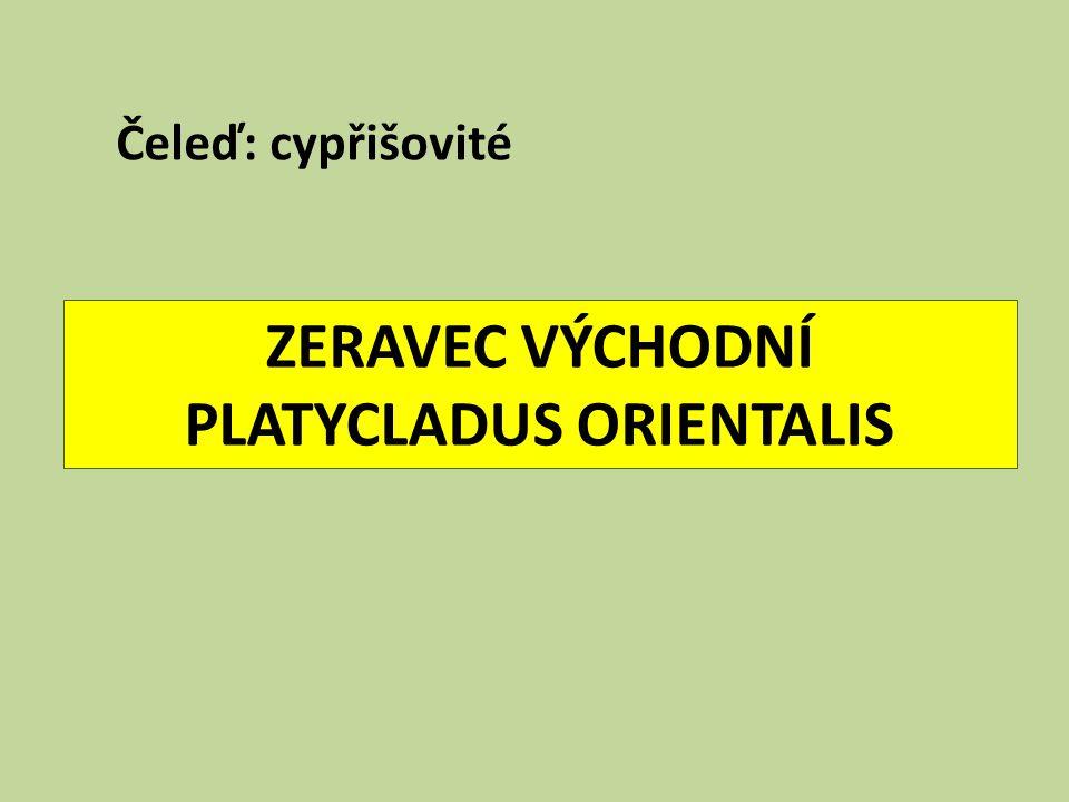 ZERAVEC VÝCHODNÍ PLATYCLADUS ORIENTALIS Čeleď: cypřišovité