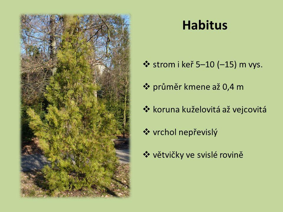 Habitus  strom i keř 5–10 (–15) m vys.  průměr kmene až 0,4 m  koruna kuželovitá až vejcovitá  vrchol nepřevislý  větvičky ve svislé rovině