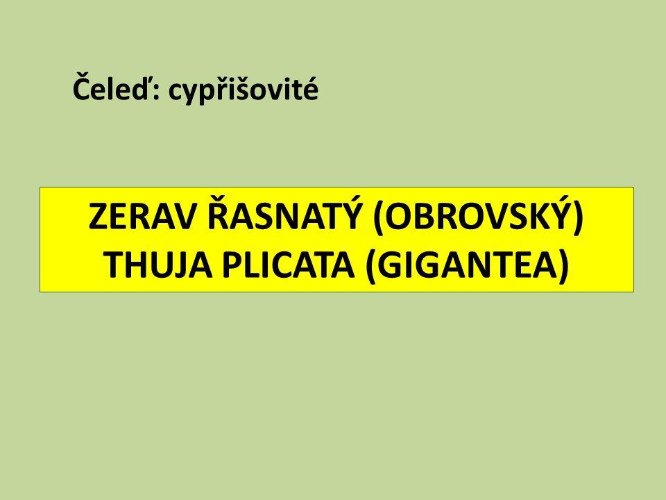 ZERAV ŘASNATÝ (OBROVSKÝ) THUJA PLICATA (GIGANTEA) Čeleď: cypřišovité