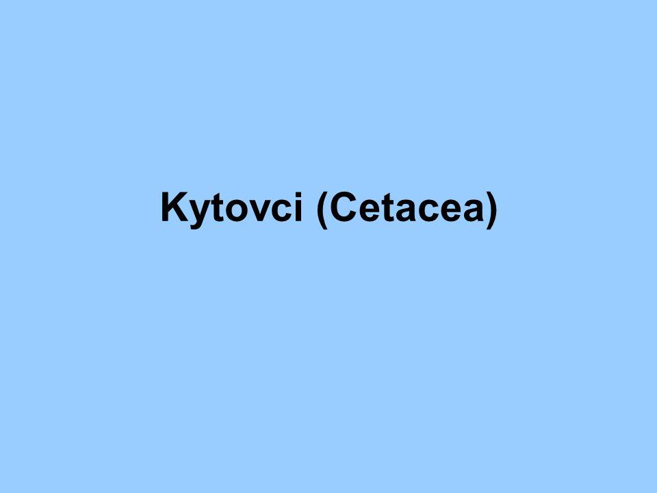 Kytovci (Cetacea)