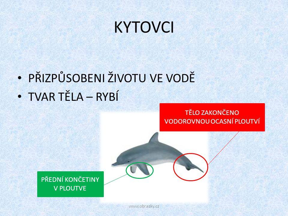 KYTOVCI PŘIZPŮSOBENI ŽIVOTU VE VODĚ TVAR TĚLA – RYBÍ TĚLO ZAKONČENO VODOROVNOU OCASNÍ PLOUTVÍ PŘEDNÍ KONČETINY V PLOUTVE www.obrazky.cz