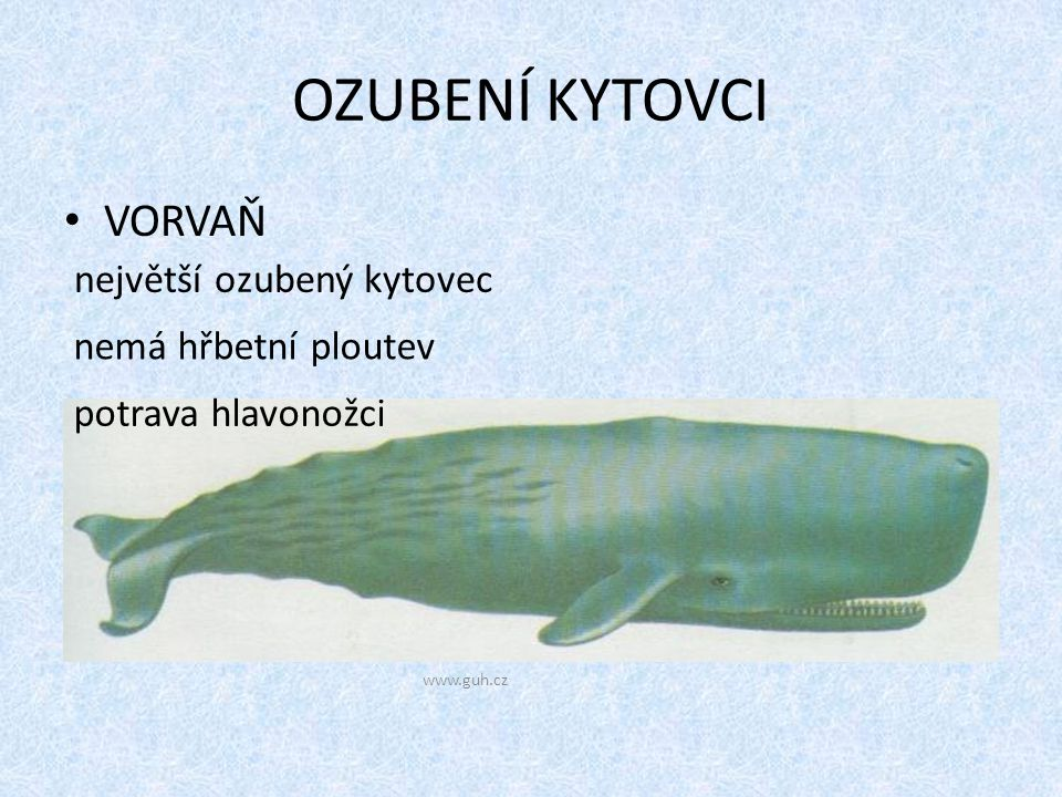 OZUBENÍ KYTOVCI VORVAŇ www.guh.cz největší ozubený kytovec nemá hřbetní ploutev potrava hlavonožci