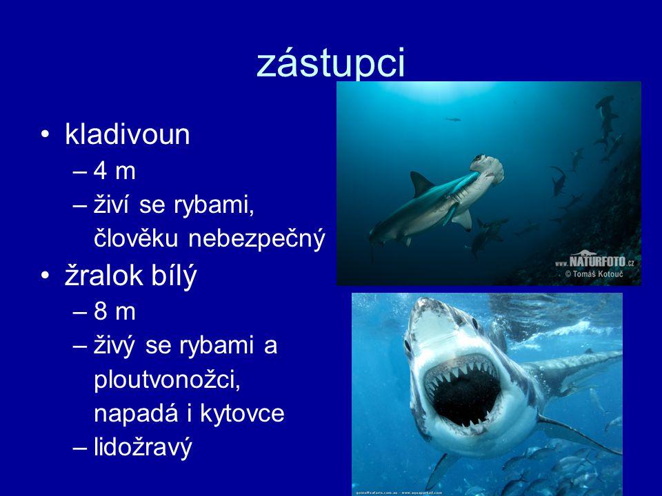zástupci kladivoun –4 m –živí se rybami, člověku nebezpečný žralok bílý –8 m –živý se rybami a ploutvonožci, napadá i kytovce –lidožravý