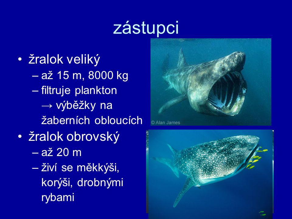 zástupci žralok veliký –až 15 m, 8000 kg –filtruje plankton → výběžky na žaberních obloucích žralok obrovský –až 20 m –živí se měkkýši, korýši, drobnými rybami