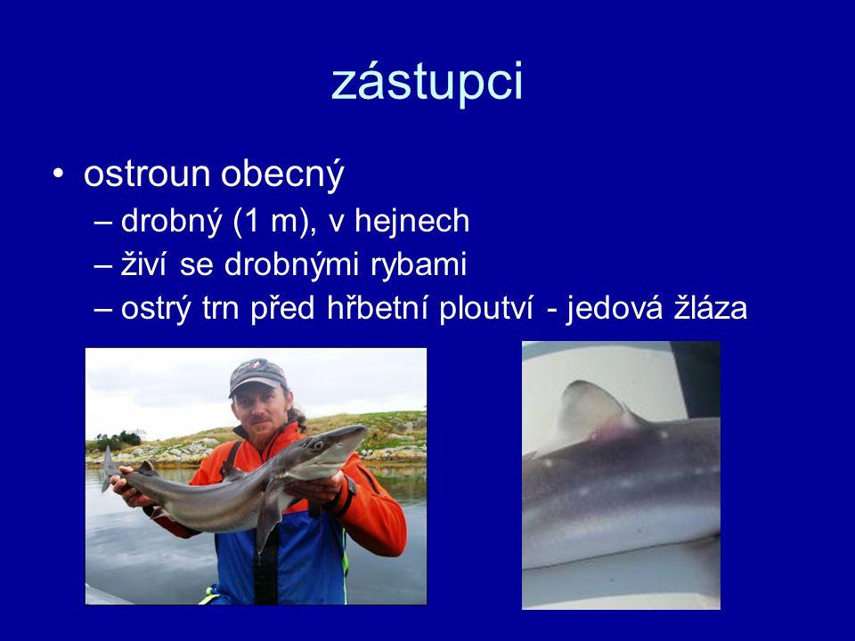 zástupci ostroun obecný –drobný (1 m), v hejnech –živí se drobnými rybami –ostrý trn před hřbetní ploutví - jedová žláza