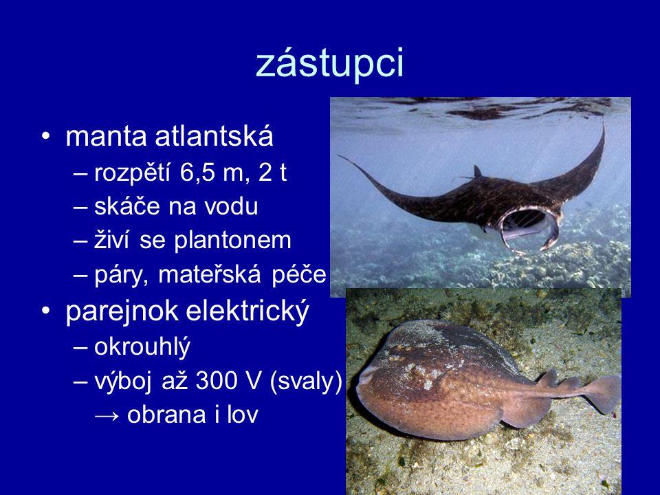 zástupci manta atlantská –rozpětí 6,5 m, 2 t –skáče na vodu –živí se plantonem –páry, mateřská péče parejnok elektrický –okrouhlý –výboj až 300 V (svaly) → obrana i lov