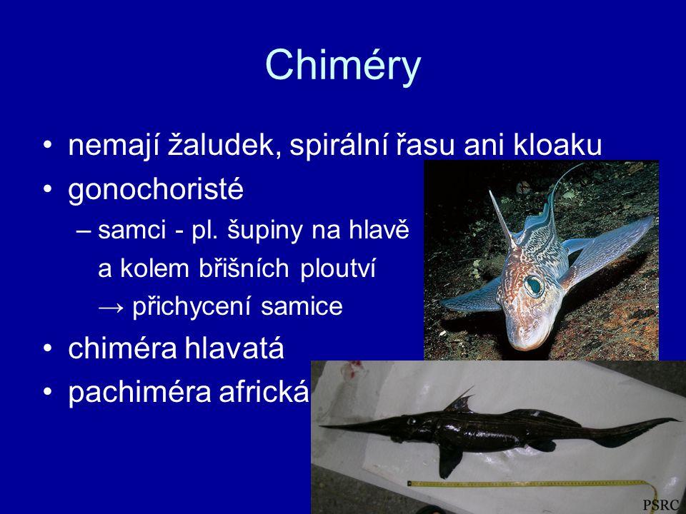 Chiméry nemají žaludek, spirální řasu ani kloaku gonochoristé –samci - pl.