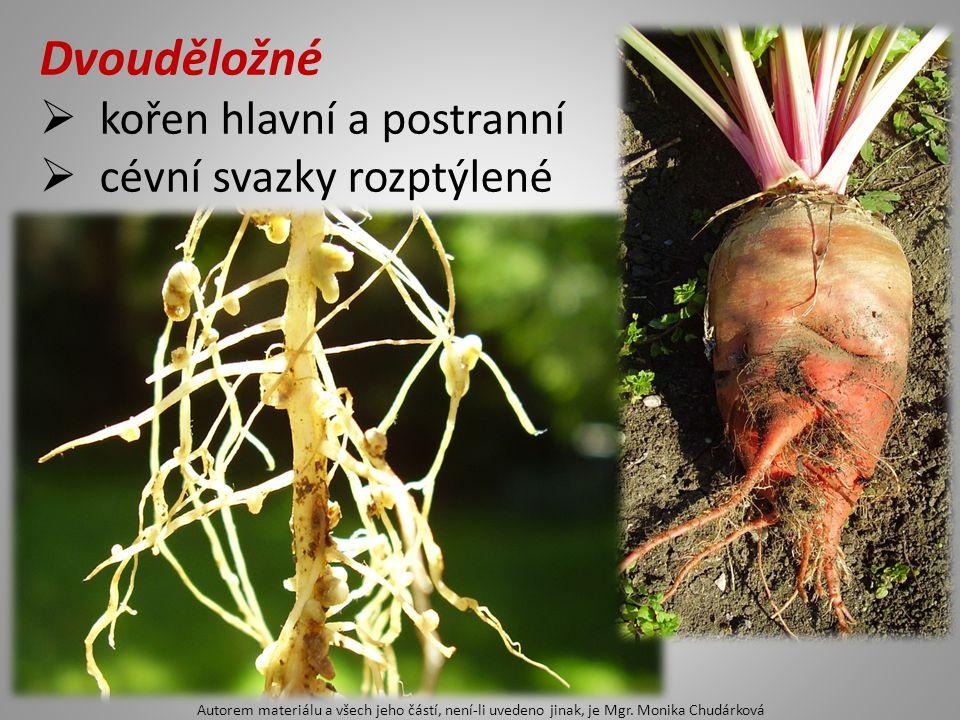 Dvouděložné  kořen hlavní a postranní  cévní svazky rozptýlené Autorem materiálu a všech jeho částí, není-li uvedeno jinak, je Mgr. Monika Chudárkov