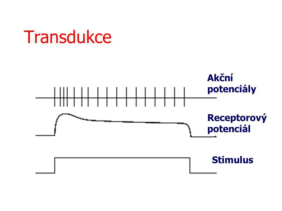 Transdukce Stimulus Receptorový potenciál Akční potenciály