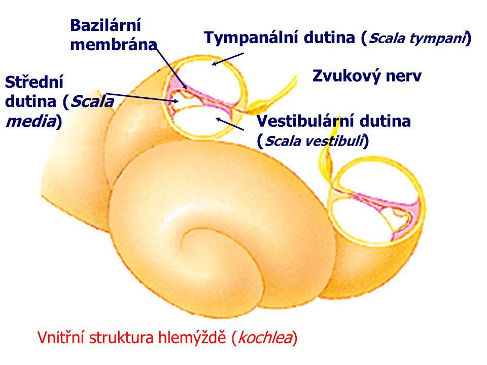Tympanální dutina ( Scala tympani ) Bazilární membrána Střední dutina (Scala media) Vestibulární dutina ( Scala vestibuli ) Zvukový nerv Vnitřní struk