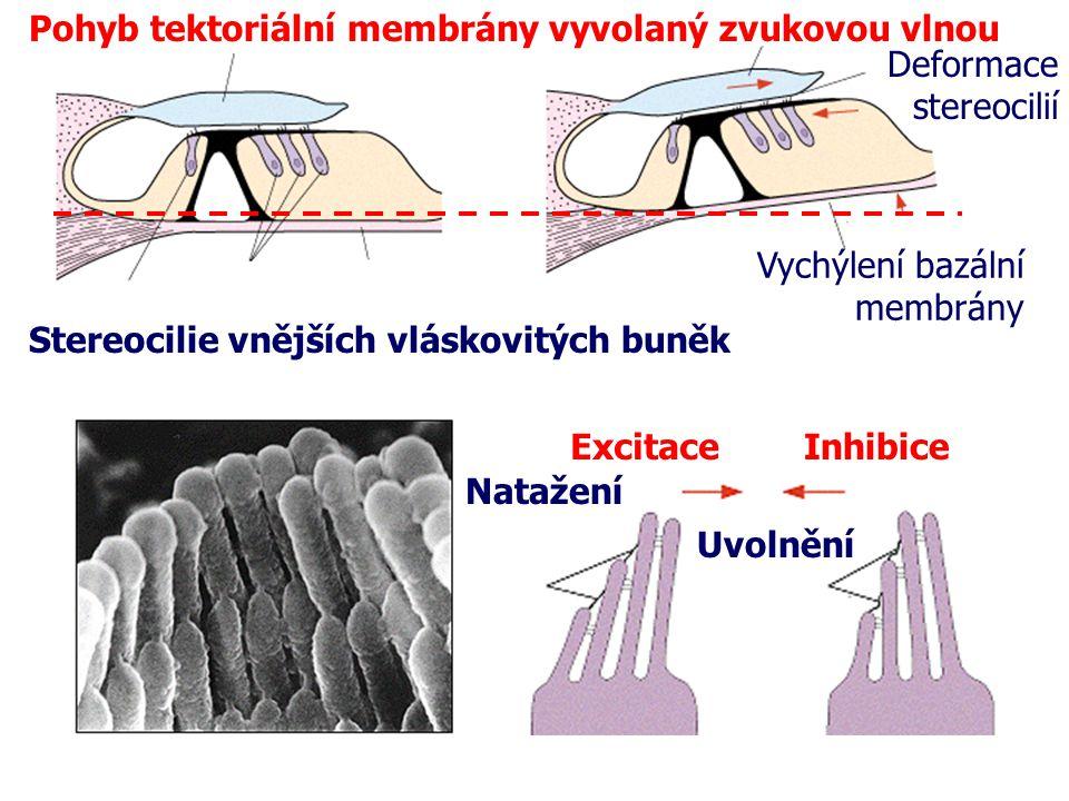 Pohyb tektoriální membrány vyvolaný zvukovou vlnou Deformace stereocilií Vychýlení bazální membrány Stereocilie vnějších vláskovitých buněk ExcitaceIn