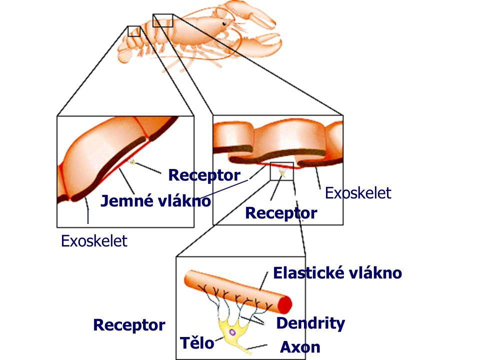 Receptor Jemné vlákno Elastické vlákno Receptor Tělo Axon Dendrity Exoskelet