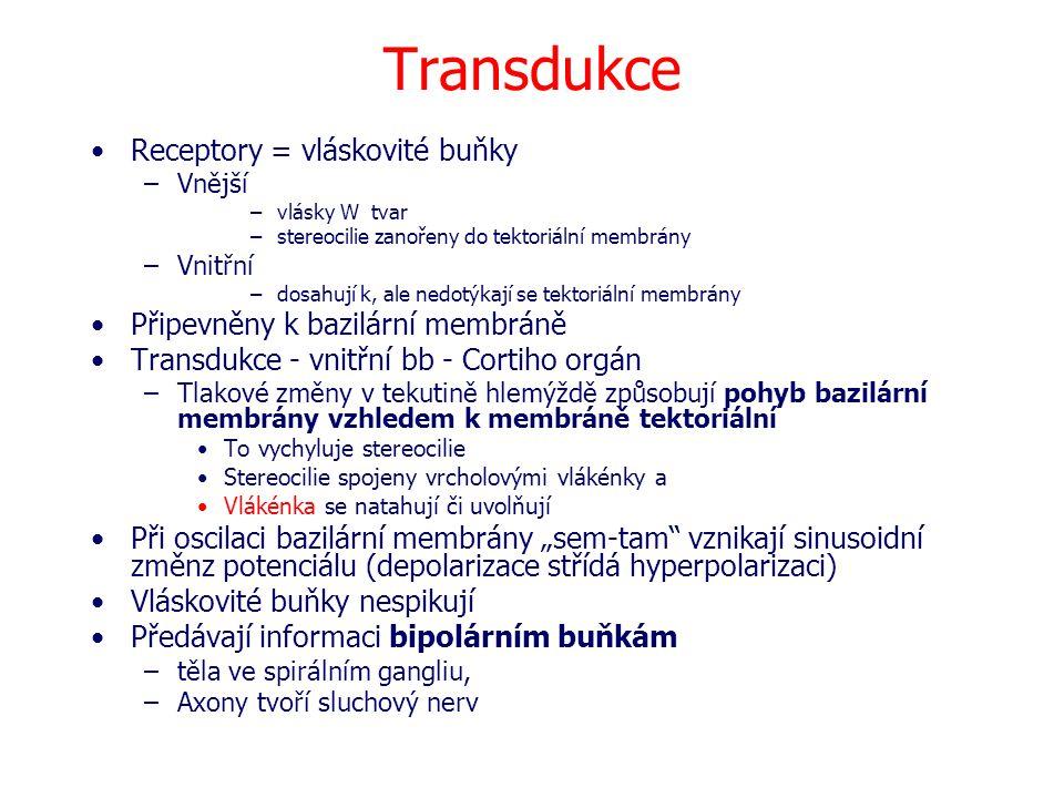 Transdukce Receptory = vláskovité buňky –Vnější –vlásky W tvar –stereocilie zanořeny do tektoriální membrány –Vnitřní –dosahují k, ale nedotýkají se t