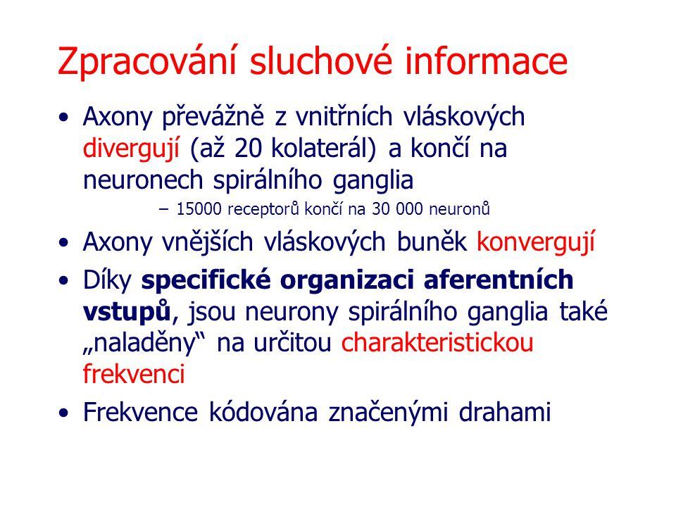 Zpracování sluchové informace Axony převážně z vnitřních vláskových divergují (až 20 kolaterál) a končí na neuronech spirálního ganglia –15000 recepto