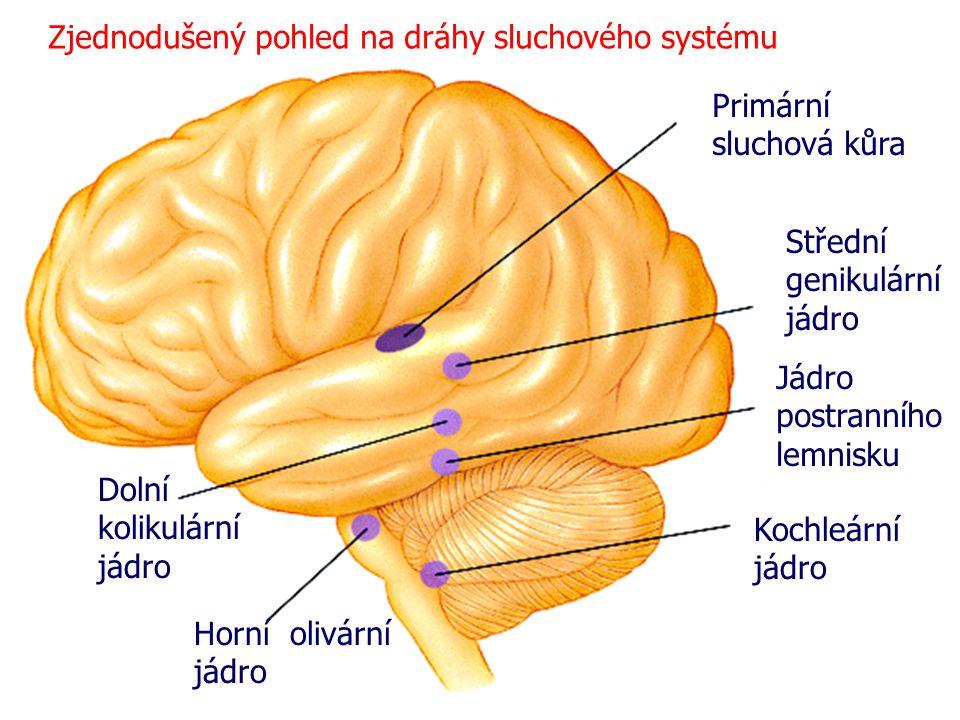 Kochleární jádro Horní olivární jádro Dolní kolikulární jádro Jádro postranního lemnisku Střední genikulární jádro Primární sluchová kůra Zjednodušený