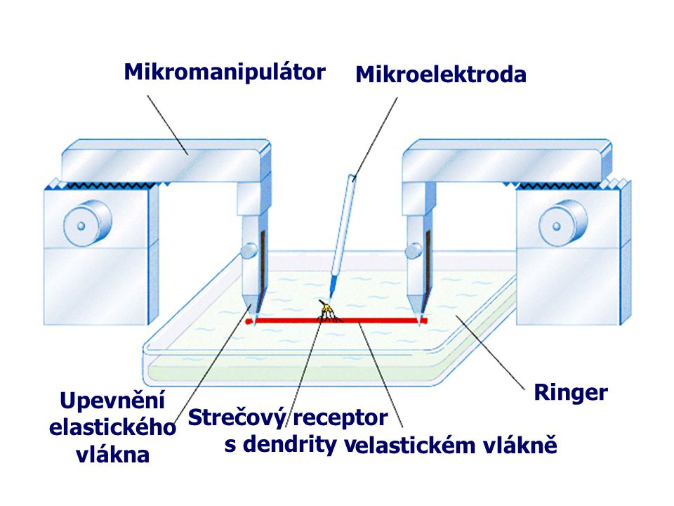 Mikromanipulátor Mikroelektroda Upevnění elastického vlákna Strečový receptor s dendrity v elastickém vlákně Ringer