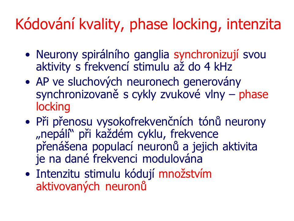 Kódování kvality, phase locking, intenzita Neurony spirálního ganglia synchronizují svou aktivity s frekvencí stimulu až do 4 kHz AP ve sluchových neu