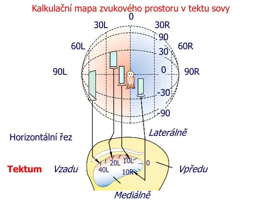 0 30R 30L 60L 90L 60R 90R -90 -30 0 30 90 Laterálně Mediálně VzaduVpředu Tektum 40L 20L 10L 0 10R Kalkulační mapa zvukového prostoru v tektu sovy Hori