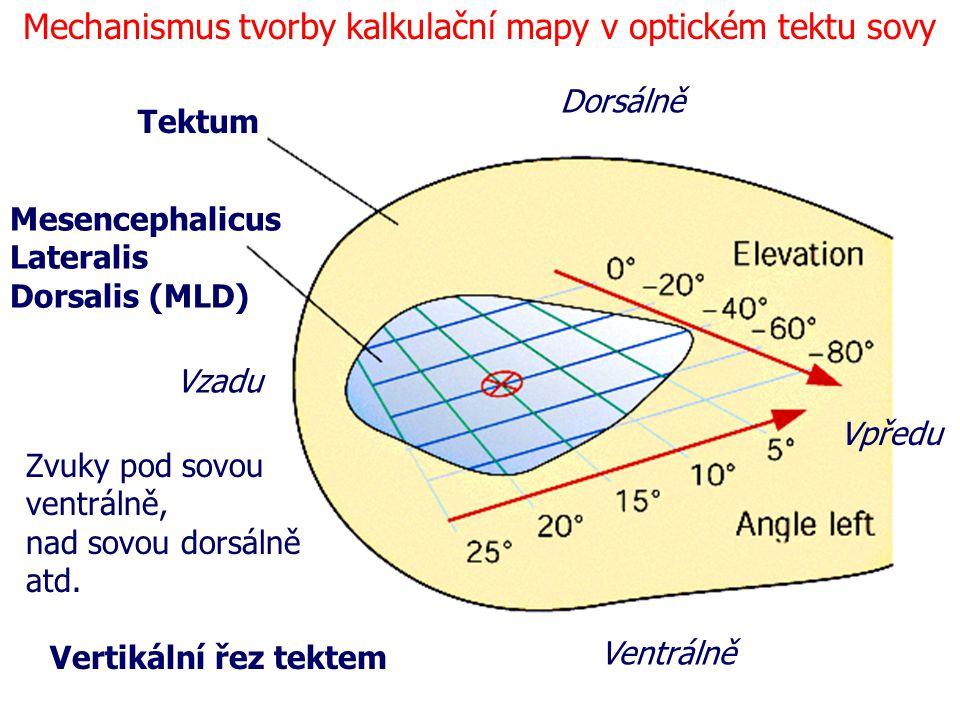 Vertikální řez tektem Tektum Mesencephalicus Lateralis Dorsalis (MLD) Dorsálně Ventrálně Vzadu Vpředu Mechanismus tvorby kalkulační mapy v optickém te