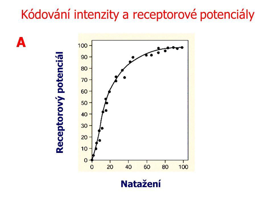 Receptorový potenciál Natažení A Kódování intenzity a receptorové potenciály