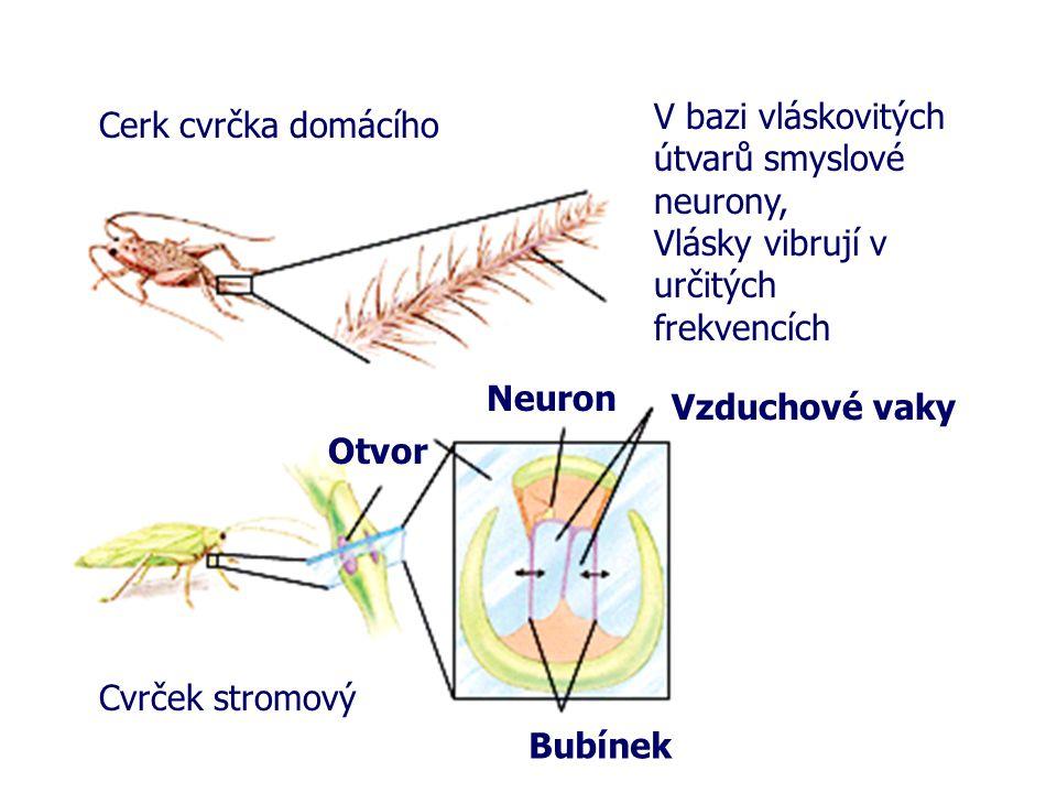 Cerk cvrčka domácího V bazi vláskovitých útvarů smyslové neurony, Vlásky vibrují v určitých frekvencích Cvrček stromový Otvor Vzduchové vaky Neuron Bu