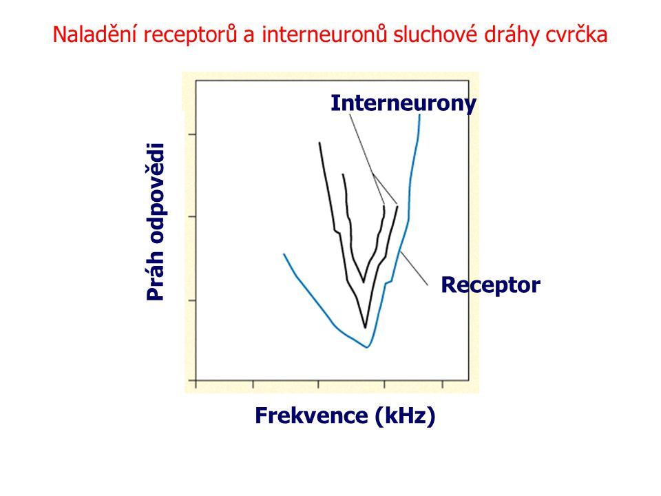 Práh odpovědi Frekvence (kHz) Naladění receptorů a interneuronů sluchové dráhy cvrčka Receptor Interneurony