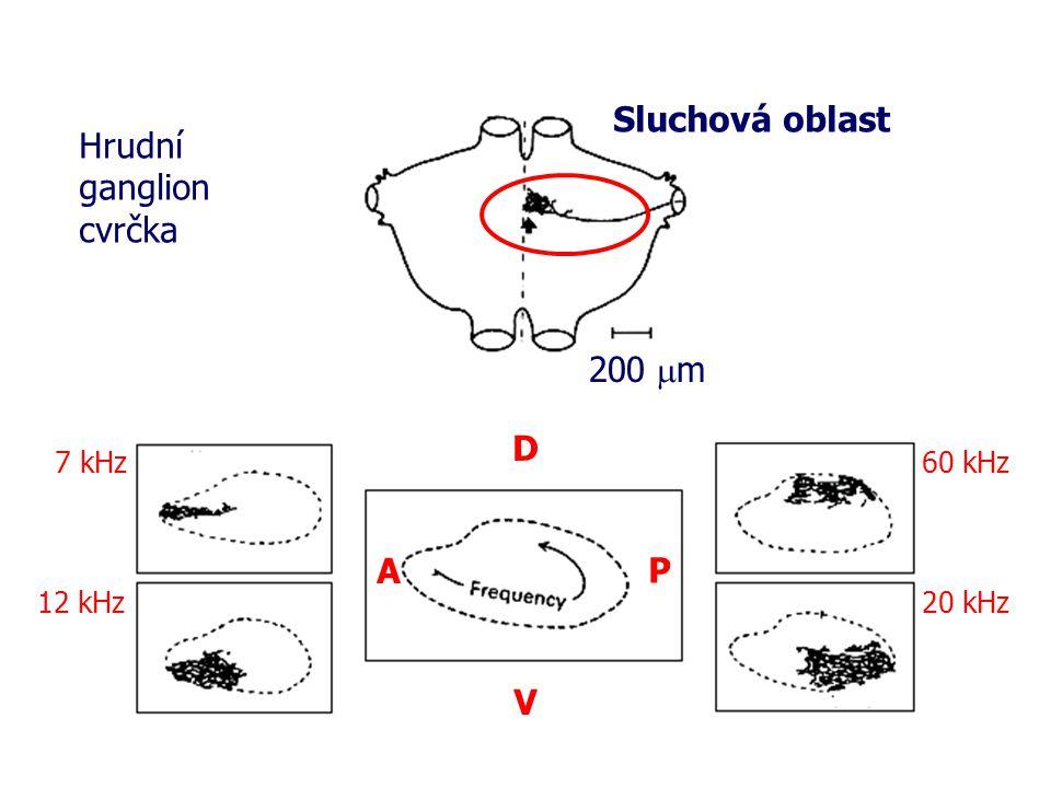 Hrudní ganglion cvrčka Sluchová oblast 200  m 7 kHz 12 kHz 60 kHz 20 kHz V D A P