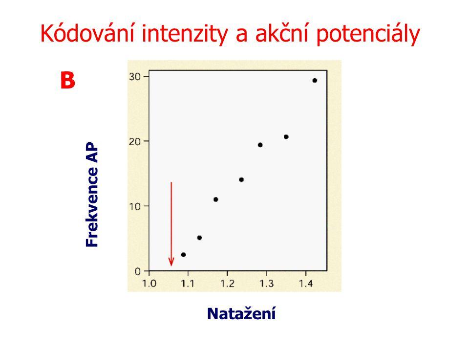 B Frekvence AP Natažení Kódování intenzity a akční potenciály