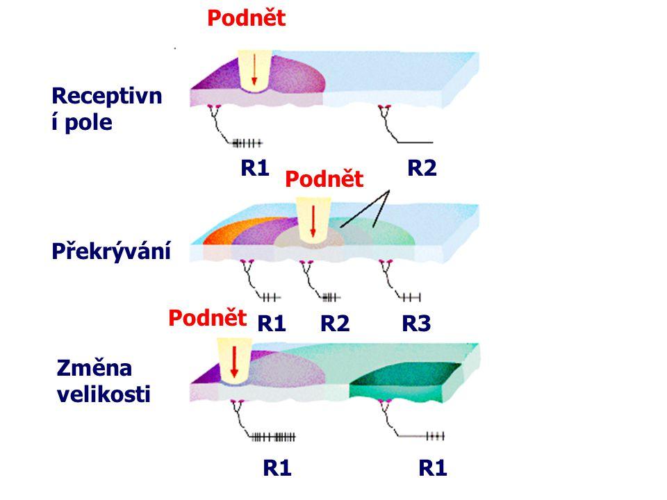 Podnět R1R2 R1R2R3 R1 Podnět Receptivn í pole Překrývání Změna velikosti