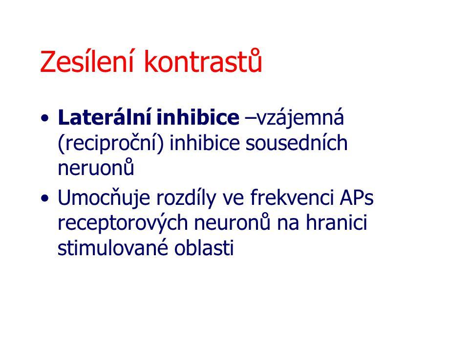 Zesílení kontrastů Laterální inhibice –vzájemná (reciproční) inhibice sousedních neruonů Umocňuje rozdíly ve frekvenci APs receptorových neuronů na hr